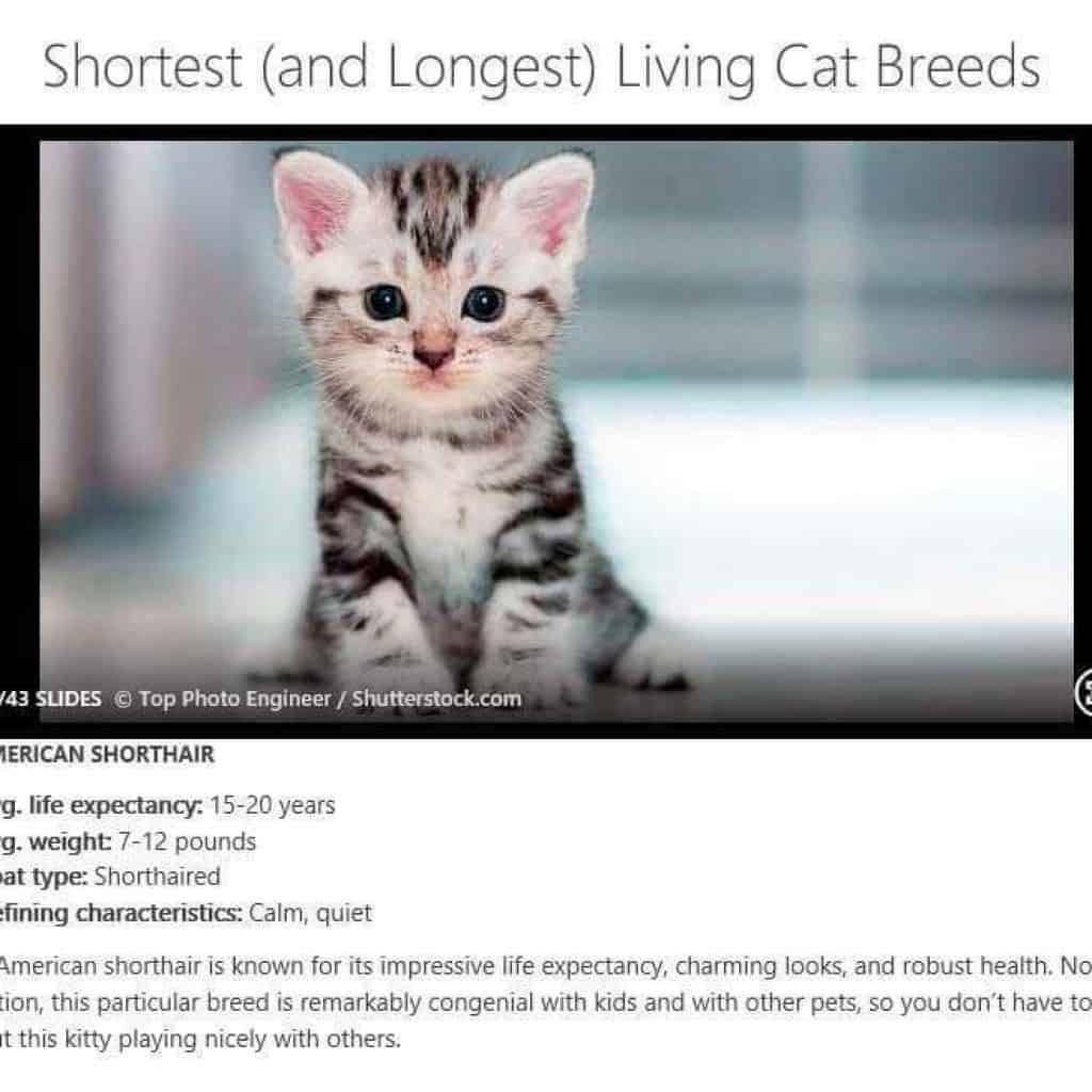 american shorthair life expectancy
