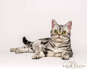 american shorthair facts