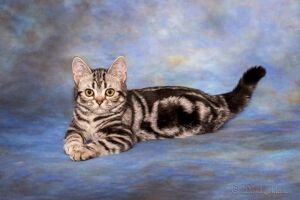 available american shorthair kittens