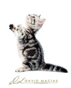 silver tabby american shorthair kitten