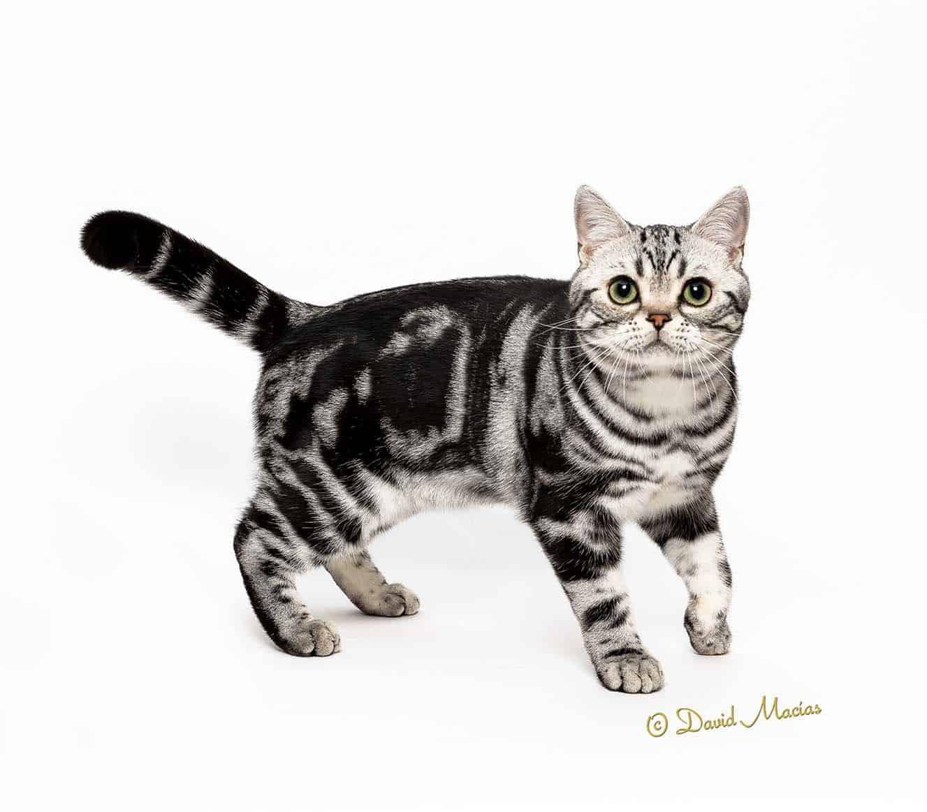 American Shorthair Silver Tabby