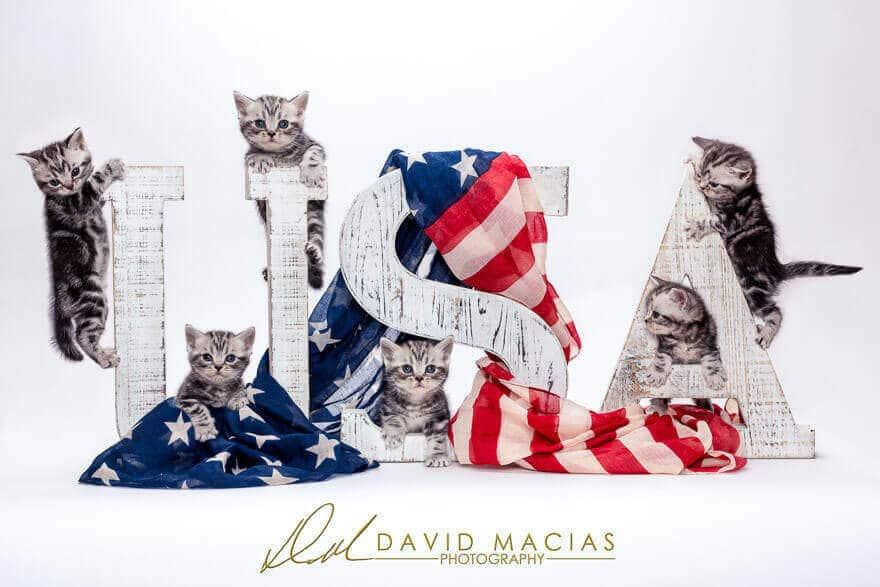 american shorthair kittens
