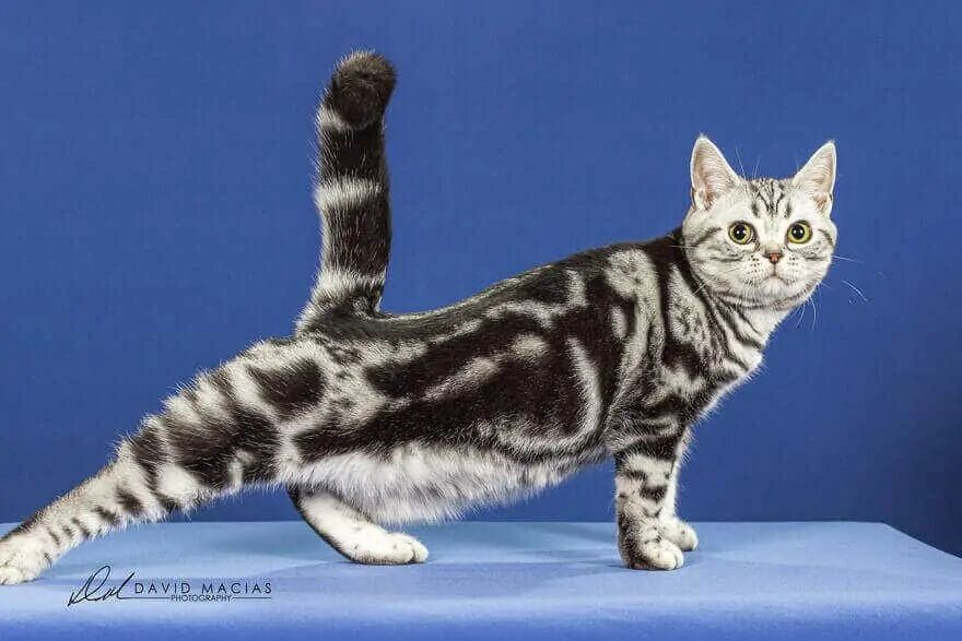 Silver Tabby American Shorthair Female from Milla's Kats Cattery