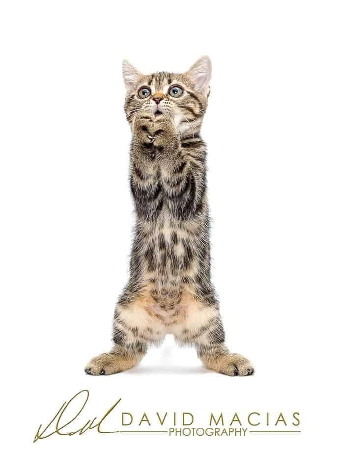 brown tabby american shorthair kitten