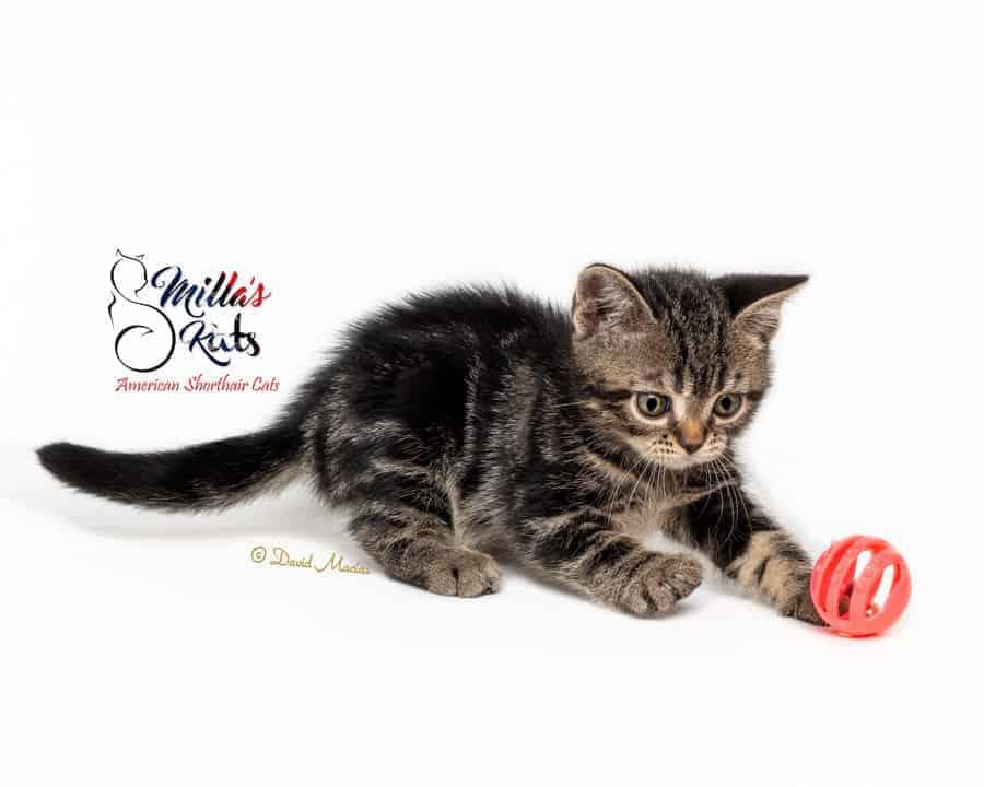 american shorthair brown tabby kitten